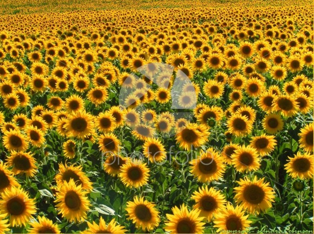 Summer – sunflower field