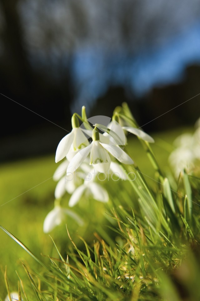 Snowdrops, early spring flowers