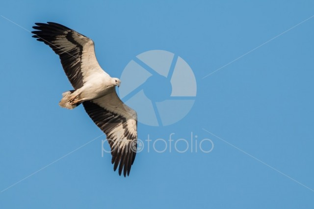White bellied Fish eagle
