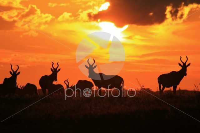 Red Hartebeest Gold – Summer of Color and Beauty
