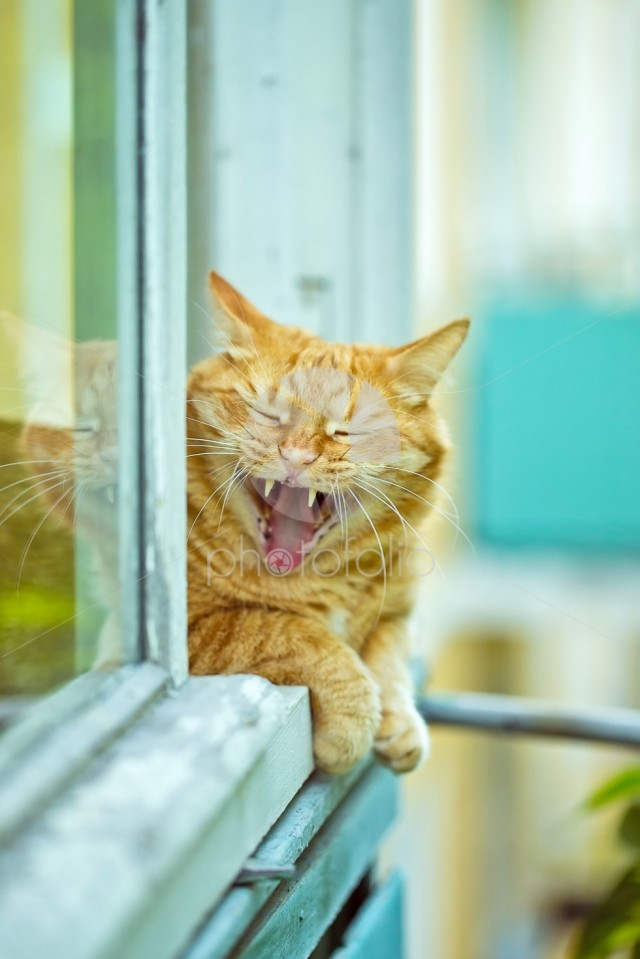 A orange yawning cat on the window, summer day