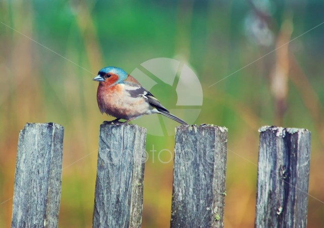 Bluebird sits on a fencepost