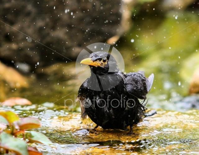Common Blackbird , Turdus merula