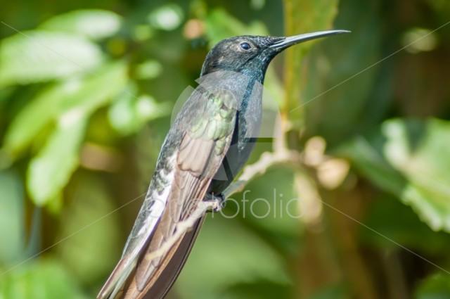 Big Blue Green Hummingbird on branch