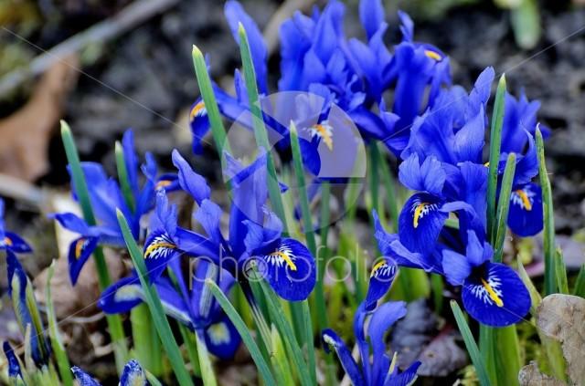 Iris Dwarf Blue