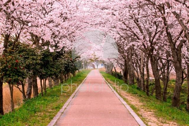 Blossom Cherry path