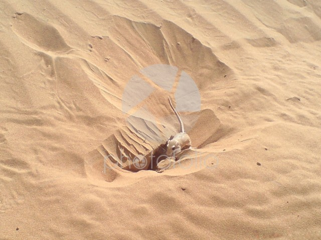 Mouse near a hole in sand
