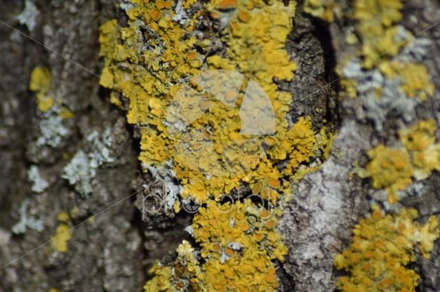 Yellow lichen on tree bark