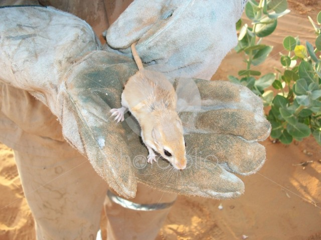 Desert mouse in a hand