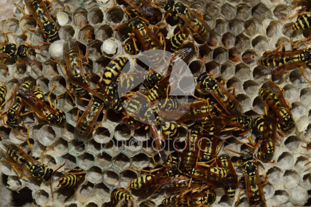 Wasp nest with wasps sitting on it. Wasps polist. The nest of a family of wasps which is taken a close-up