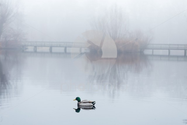 Male mallard swimming in pond in misty foggy weather.