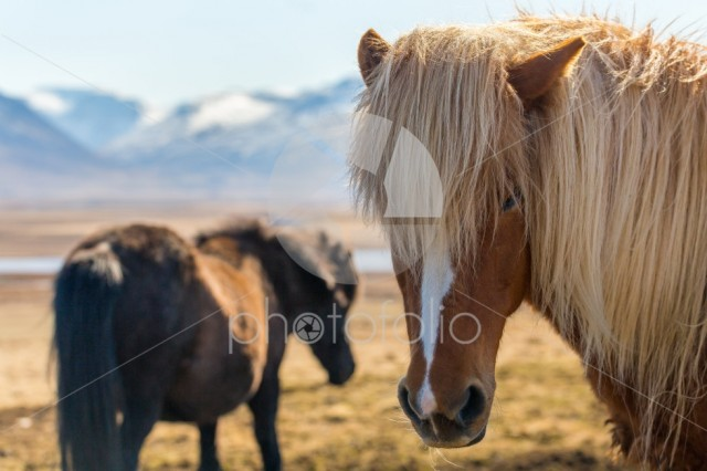 Icelandic horses on wide open space with snow-covered mountains