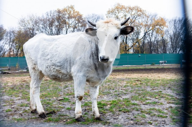 Ukrainian cattle. White cow.
