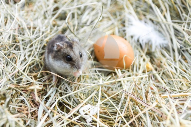 Mouse with chicken eggs on hay. Village composition