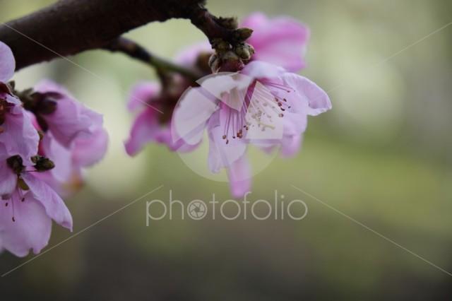 Macro shot of blooming in spring flowers of peach tree