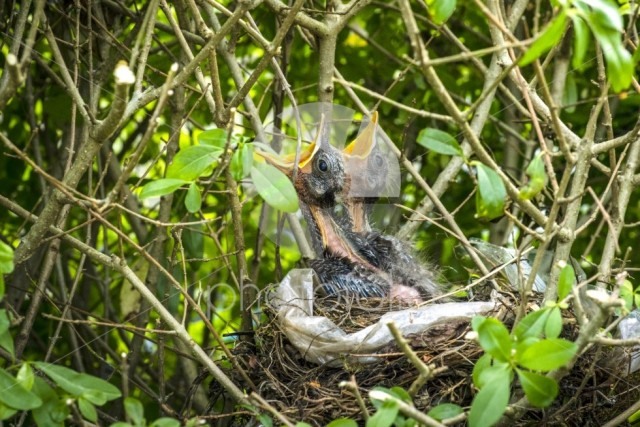 Birds nest with two newly hatched blackbirds