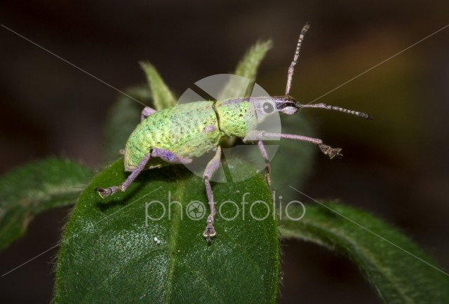 A green and purple weevil walks on leaf in the jungle at night.