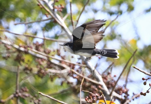 An eastern kingbird (Tyrannus tyrannus) in flight in Belize.