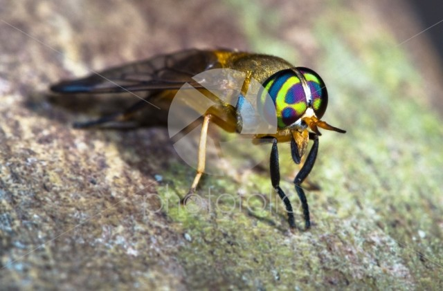 A doctor fly (aka yellow fly, Diachlorus ferrugatus) up close in