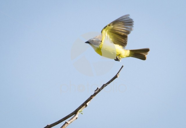 A social flycatcher (Myiozetetes similis) taking flight in Beliz