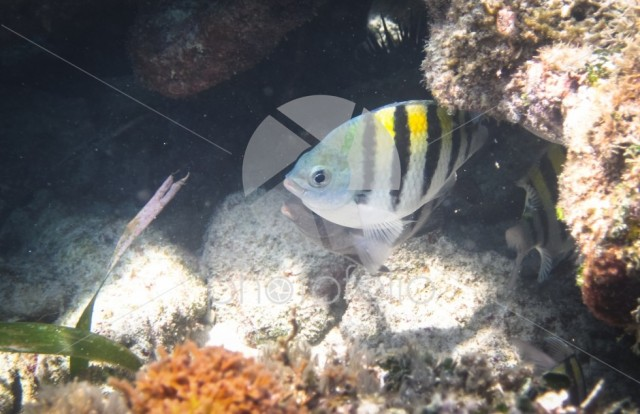 A sergeant major fish (Abudefduf saxatilis) in the Caribbean Sea