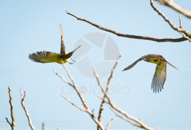 Social flycatchers (Myiozetetes similis) taking flight in Belize