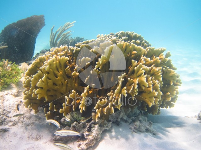 A colony of coral in the Caribbean Sea. Photographed in Belize.