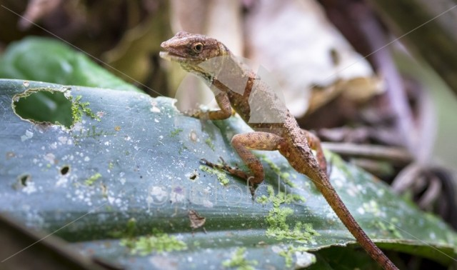 A Cuban brown anole (Anolis sagrei) on a leaf in southern Belize