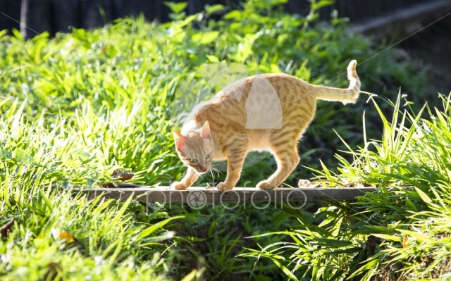 A pet cat crosses a small wooden bridge over a stream on a sunny