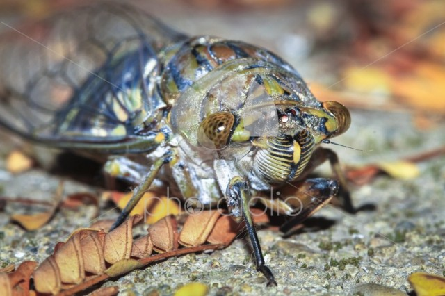 A large cicada photographed at night in Belize.