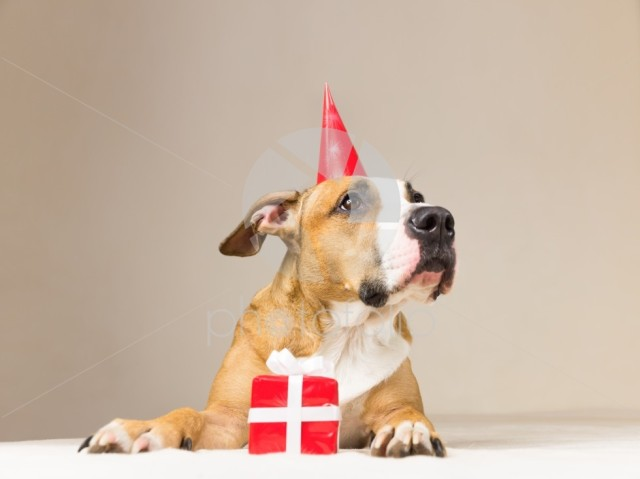Funny pitbull puppy in birthday hat with little surprise at her paws