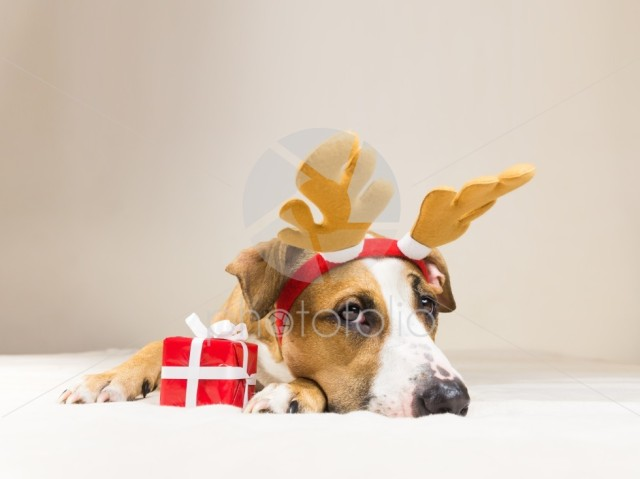 Young staffordshire terrier dog in christmas reindeer horns hat