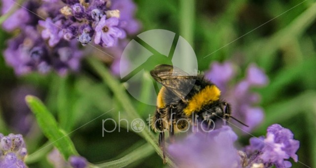 Close up of bumblebee collecting nectar