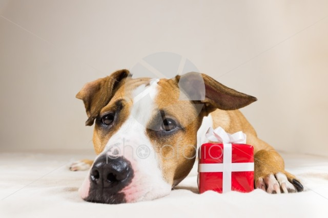 Young staffordshire terrier dog with cute little red present