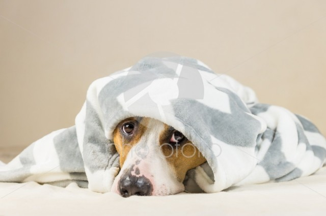 Shy puppy in warm throw blanket rests in bedroom