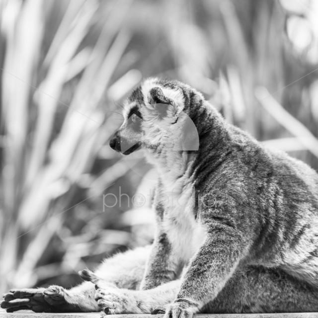 Ring-taled Lemur