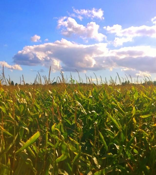 Close to the Corn