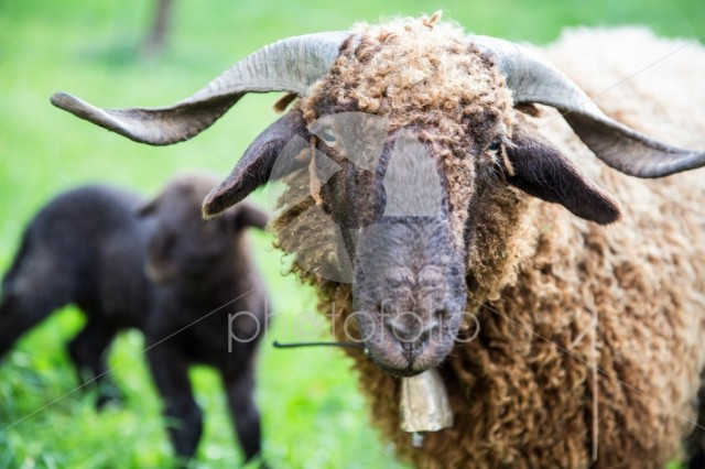 Curly Fur Sheep with Neck Bell in Green Swiss Farm