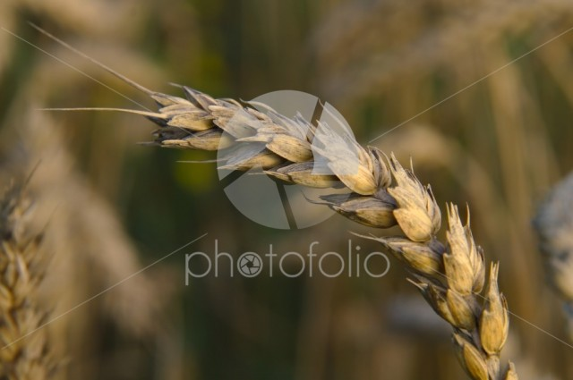 Crop is turning golden in autumn