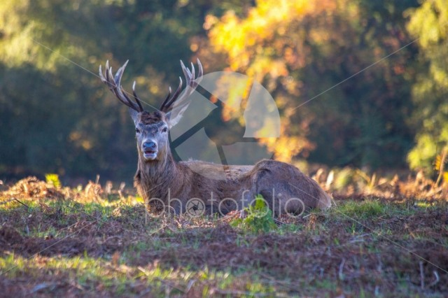 Stag buck with antlers autumn season