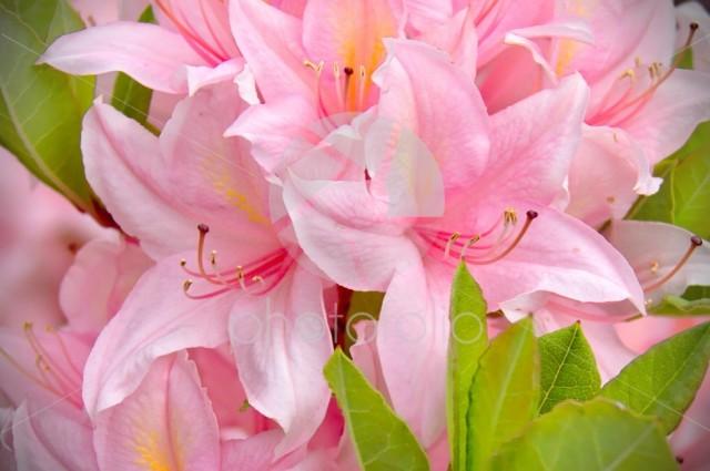 Pink lilies closeup