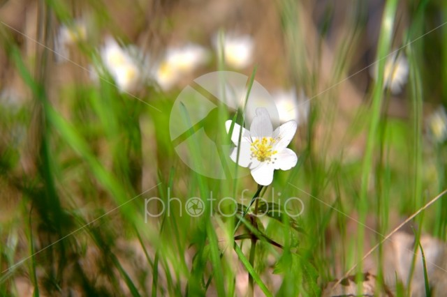 Wood anemone in the grass
