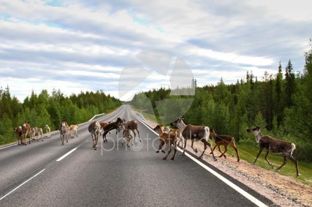 Reindeer on the road