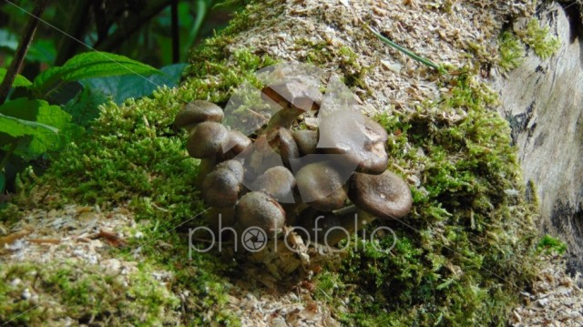 Small brown fungus on moss coverd tree