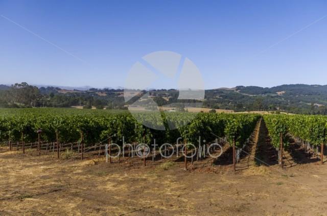 Sanata Rosa vineyard as the early morning fog clears