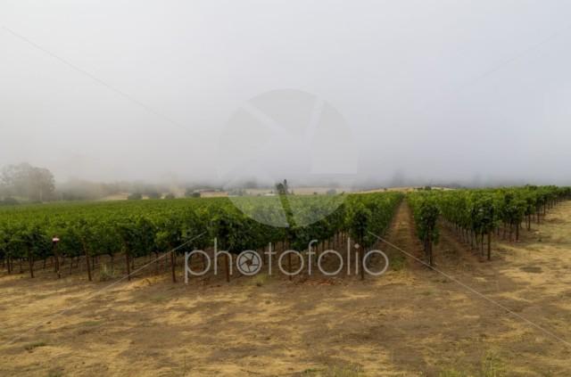 Early foogy morning at a Santa Rosa winery.