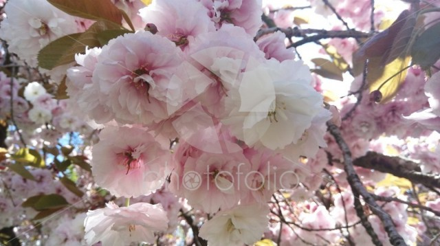 Close up at a cherry blossom bunch