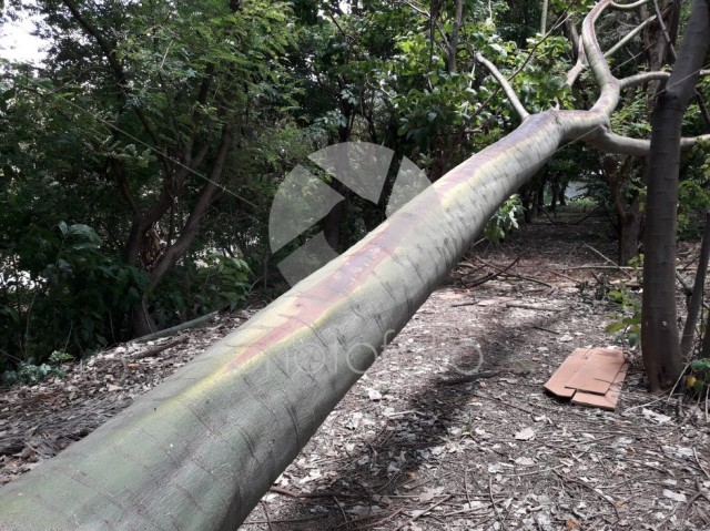 A big fallen bough at a public green area in Sorocaba, Brazil