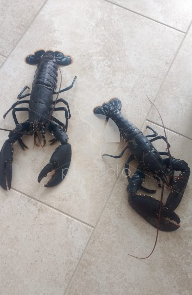 A couple of fresh live lobsters