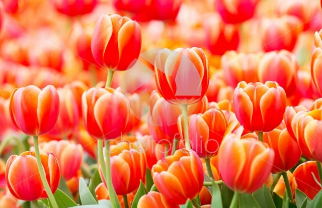 Beautiful red or orange tulip in tulip field at Amsterdam, Netherlands